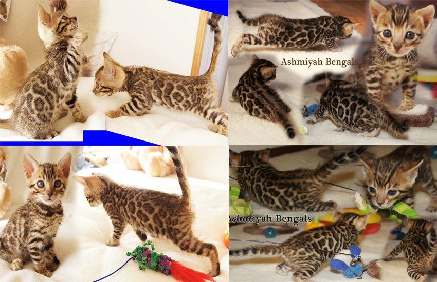 Bengal cats australia ashmiyah bengals kittens