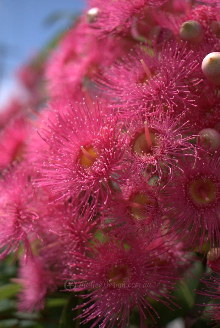 My favourite grafted dwarf eucalyptus ficifolia pink flowers my favourite grafted dwarf eucalyptus ficifolia mightylinksfo