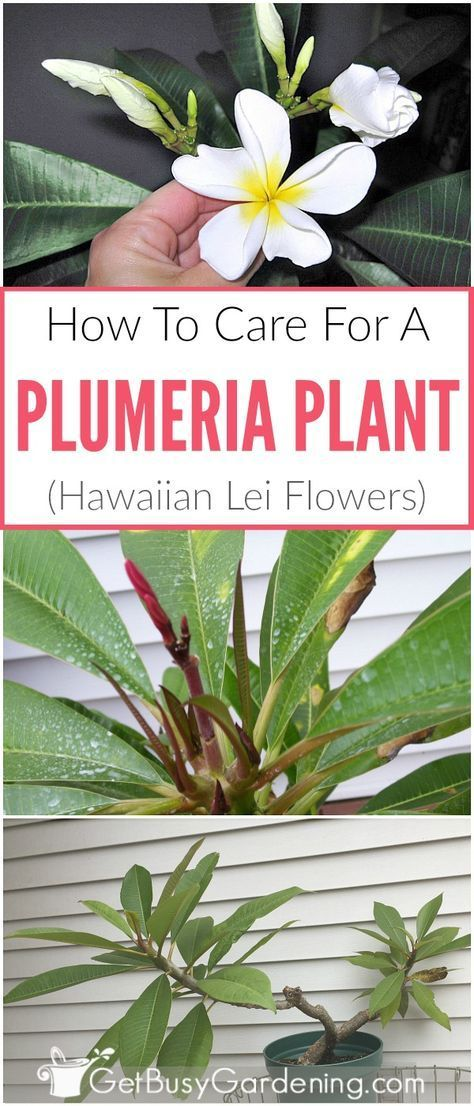 Plumeria frangipani are the flowers used to make hawaiian leis, and they are easy to grow! Learn how to take care of plumeria with these detailed plumeria plant care instructions, including plumeria watering, plumeria pests, best plumeria fertilizer, plumeria pruning, plumeria potting soil and more!