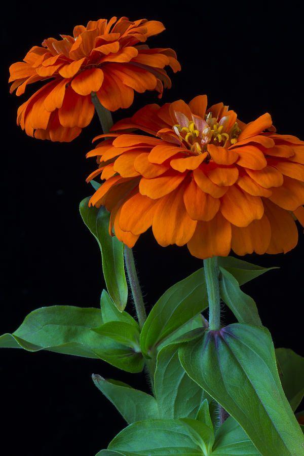 ✯ Orange Zinnia