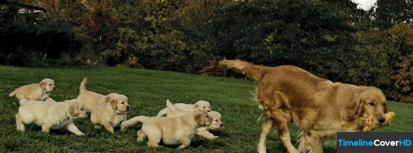 Golden Retriever Baby Facebook Timeline Cover Facebook Covers