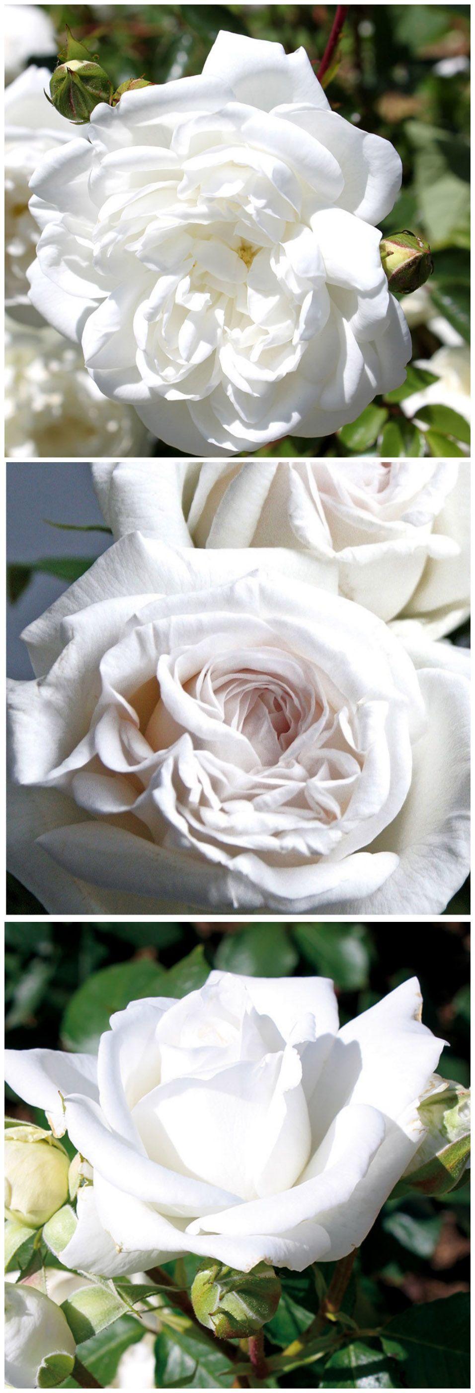 Rosen in Weiß - traumhaft schön und ein Symbol für Treue und Leidenschaft. Gefunden auf www.tom-garten.de