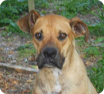 Kittery Me Great Dane Boxer Mix Meet Happy Holmes A Dog For