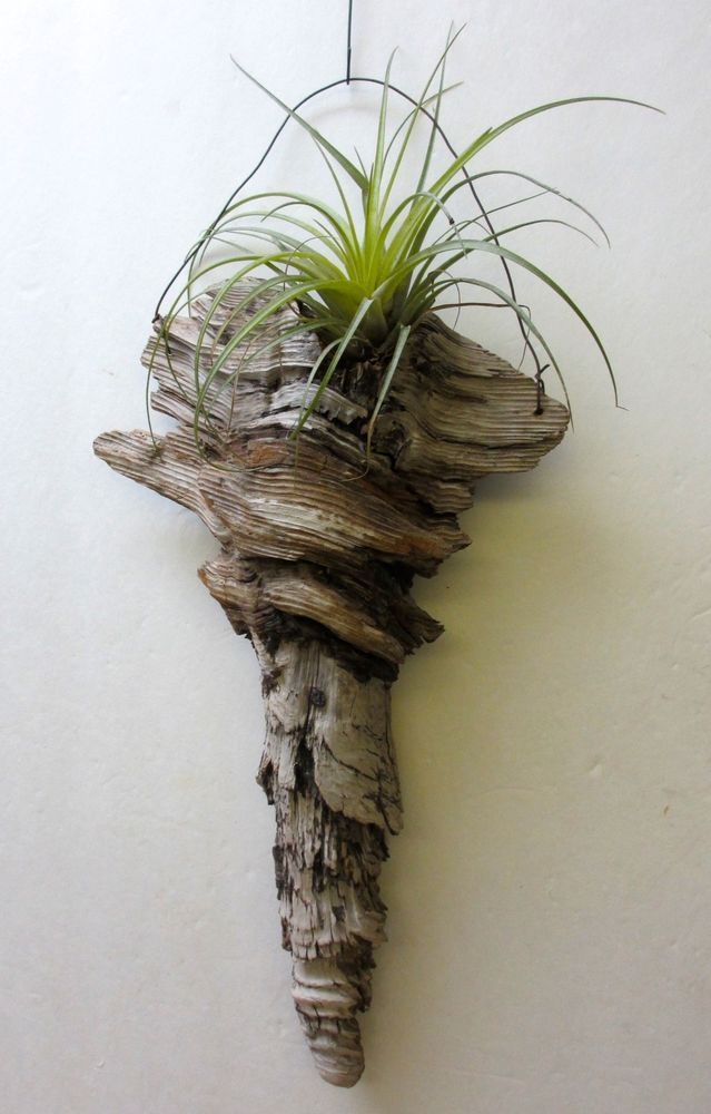 Hanging tillandsia air plants in a pine knot hand crafted for Driftwood sculpture ideas