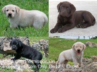 Labradorpupz Labrador Retriever Dogs Puppies Labrador