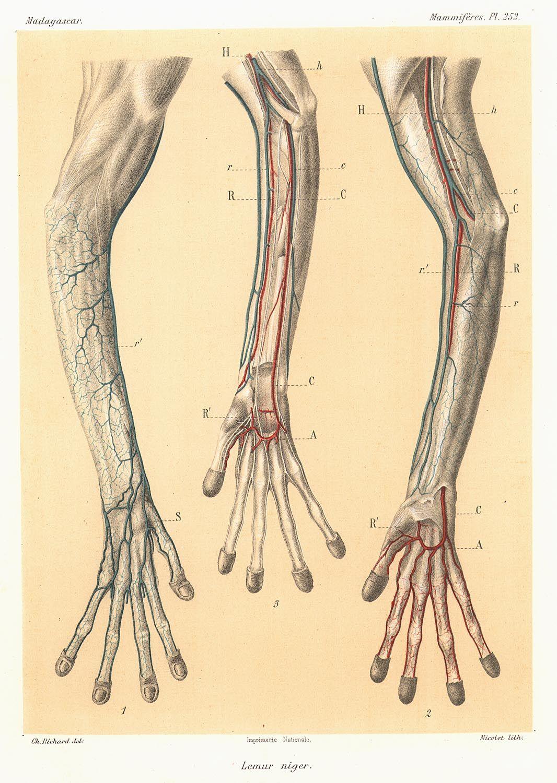 Veins and arteries from a Black lemur. (с изображениями