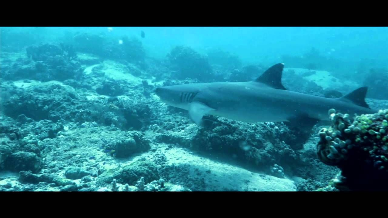 Morotai Shark Diving Indonesia Shark Diving Shark Diving