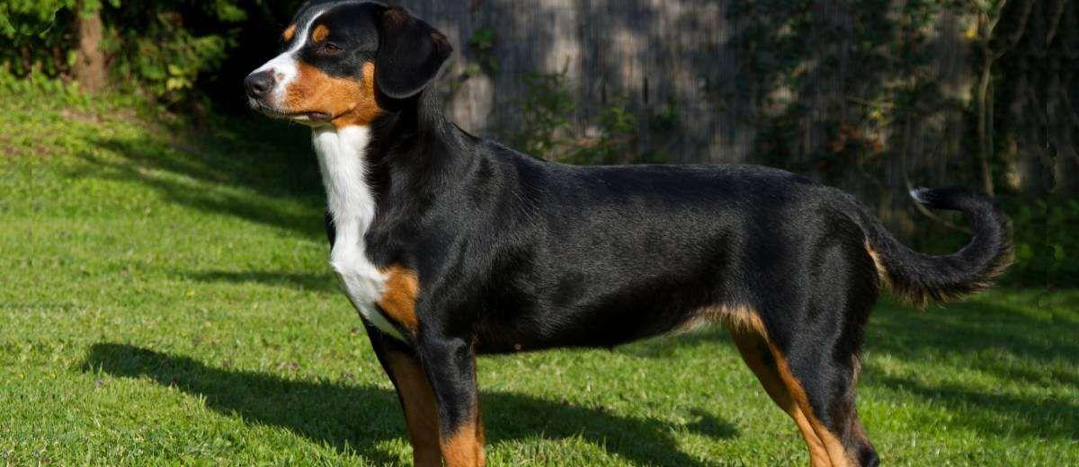 Entlebucher Sennenhond Rasbeschrijving Informatie In 2020 Leuke Honden Honden Vee