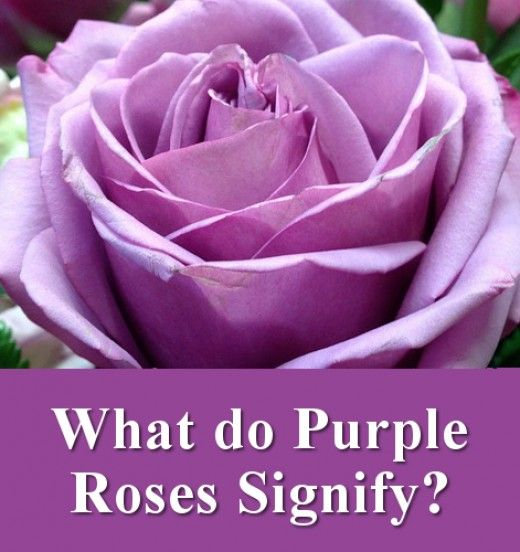 Flowers Their Meanings And Which Ones Not To Give Your Valentine Purple Roses Rose Purple Meaning