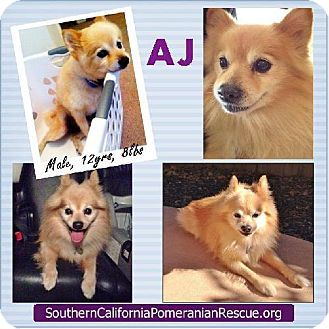 Studio City Ca Pomeranian Meet Aj A Dog For Adoption Kitten
