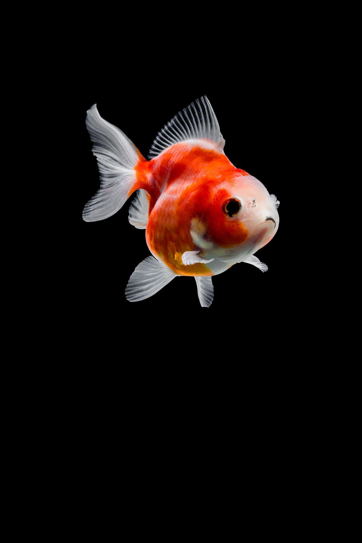 Goldfish On Behance Goldfish Goldfish Wallpaper Cute Fish