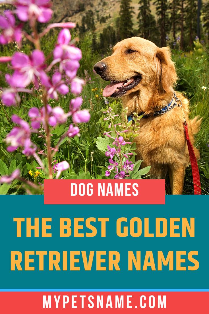 Over 180 Golden Retriever Names For Your Beloved Pup Golden Retriever Names Golden Retriever Dog Names