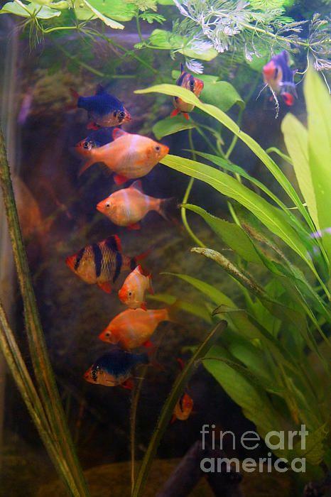Tiger Barbs By Cassandra Buckley Sea World Cassandra Fish Tank