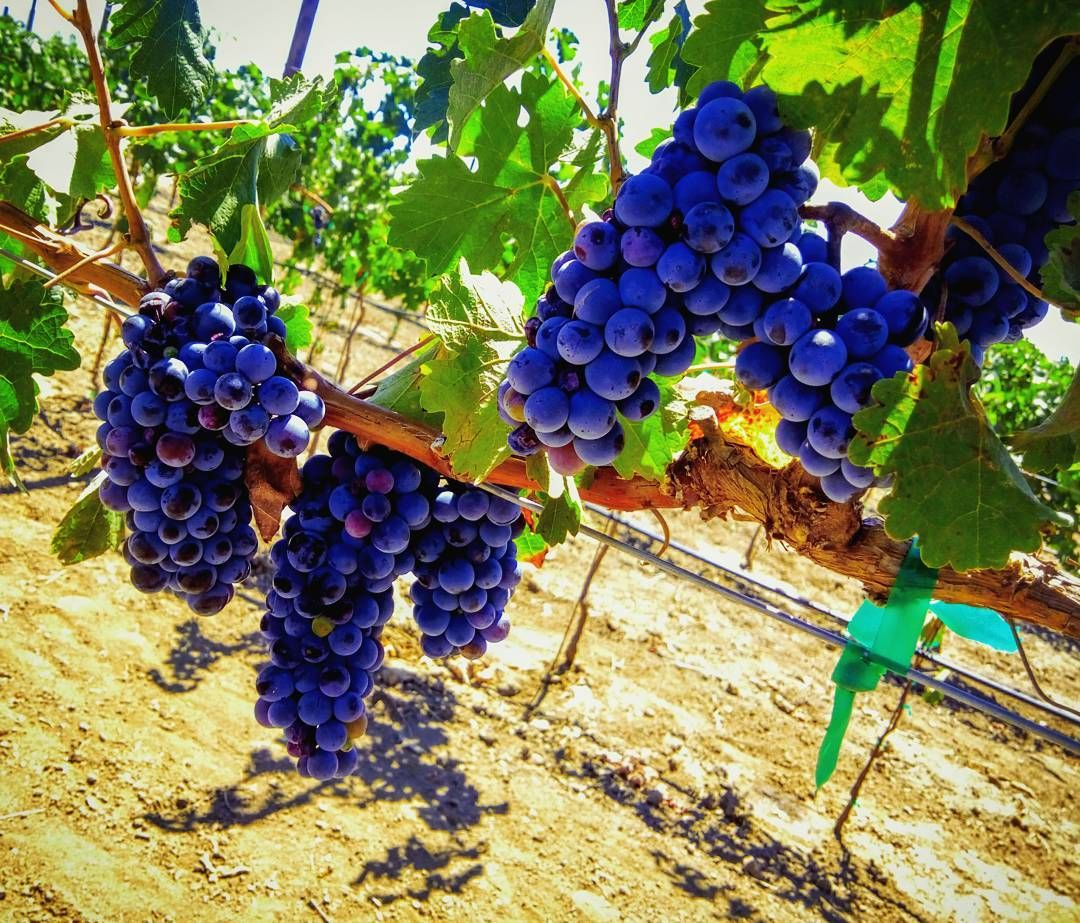 Vista de un racimo de uvas en Ensenada