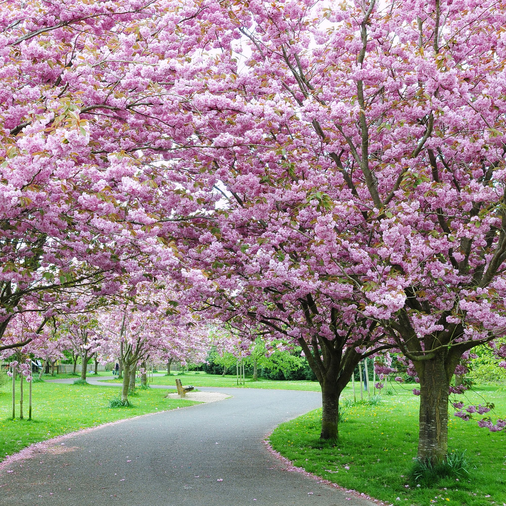 All About Cherry Blossom Trees Facts And Planting Tips Tree Lined Driveway Blossom Trees Cherry Blossom Tree