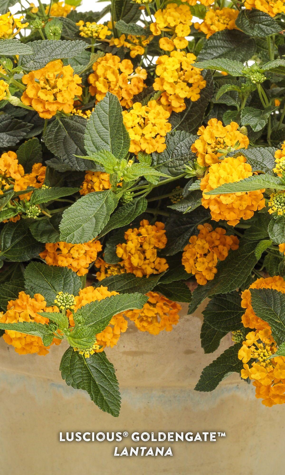 Tough Golden Yellow Lantana In 2020 Lantana Yellow Lantana Yellow Plants
