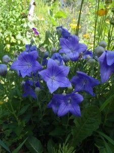 Vivace 30 Cm De Hauteur Fleurs Simples De Couleur Bleu Violet