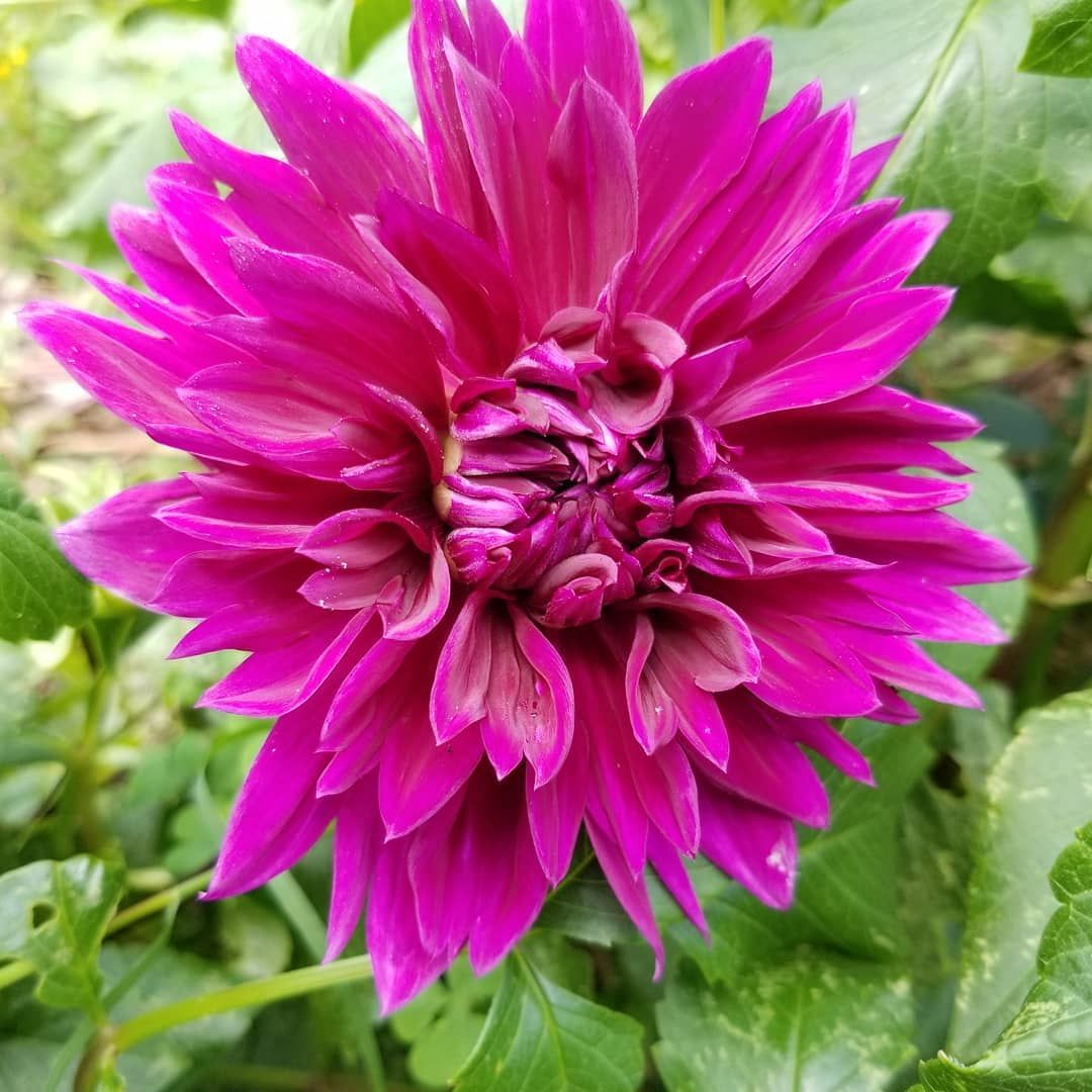 Beautiful dahlia. One of my faves!
