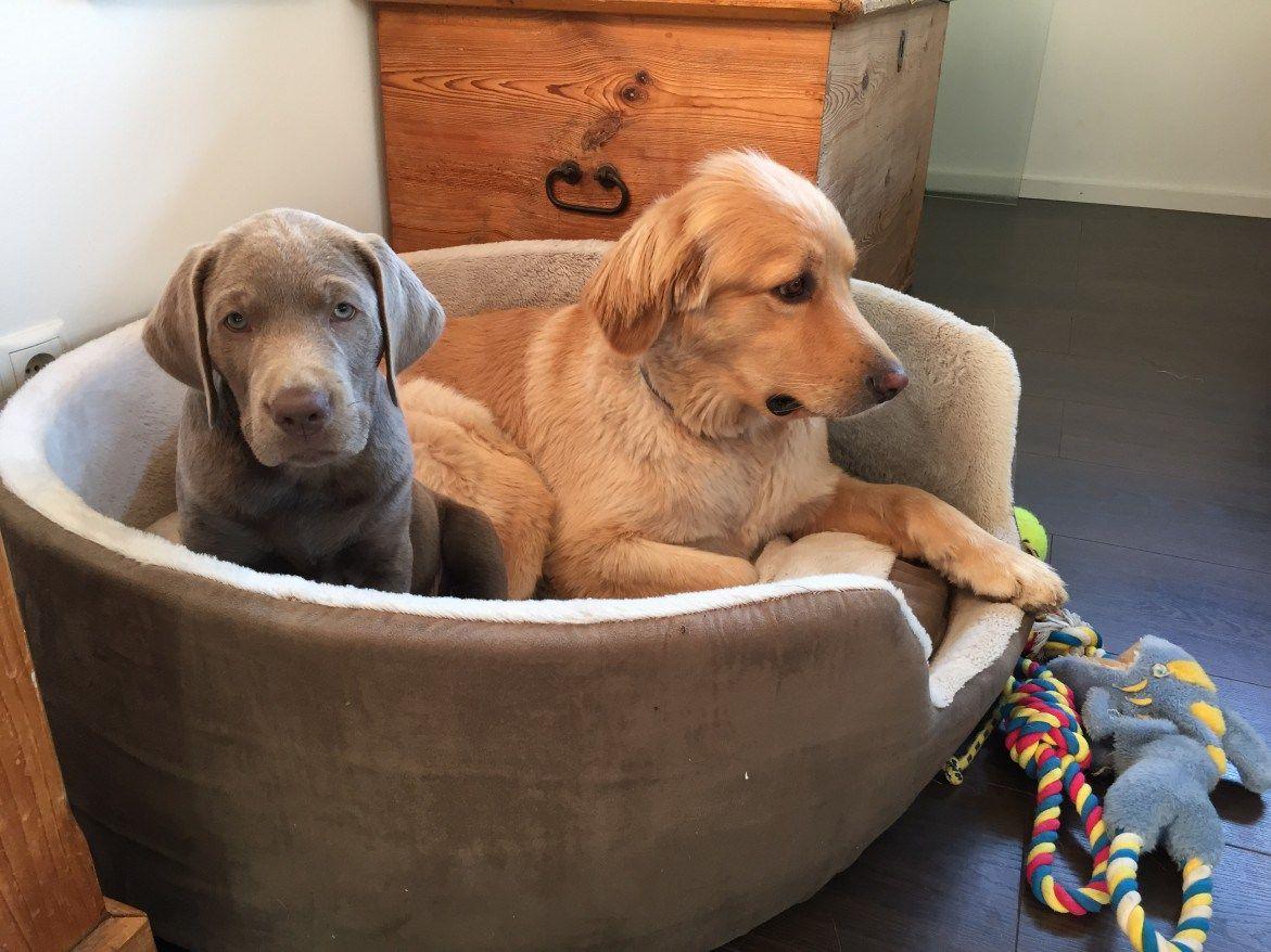 Der Grosse Prinz Lasst Sich Erweichen Tueck About Labrador Jagdhunde Grauer Labrador