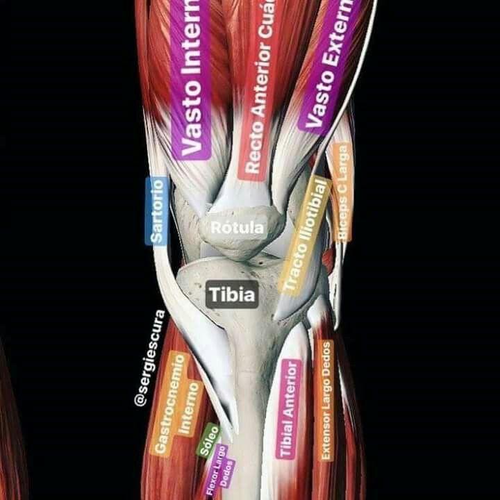 Musculos y huesos | Anatomia, Fisiología, Biología | Pinterest ...