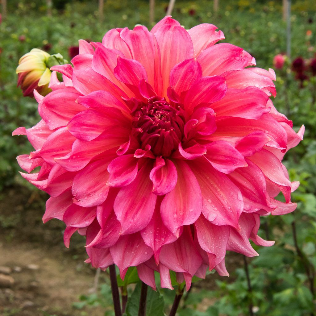 Buy Dahlias Online Dahlia Bulbs For Sale Red White Blue Pink And Purple Dahlia Flowers Giant Dinner Plate Dahli Dahlia Flower Types Of Flowers Dahlia