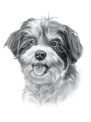 Havanese Dog Havanese Dogs Watercolor Dog Dog Drawing