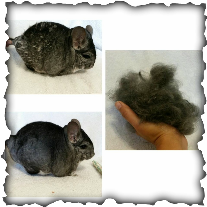 Chinchilla Fur Problems Great Article Covering How To Deal With