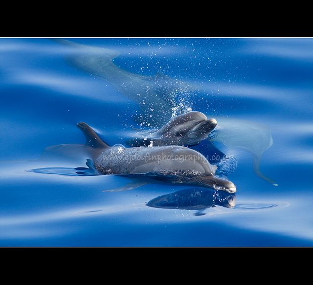 Mother and Calf Pantropical Spotted Dolphins