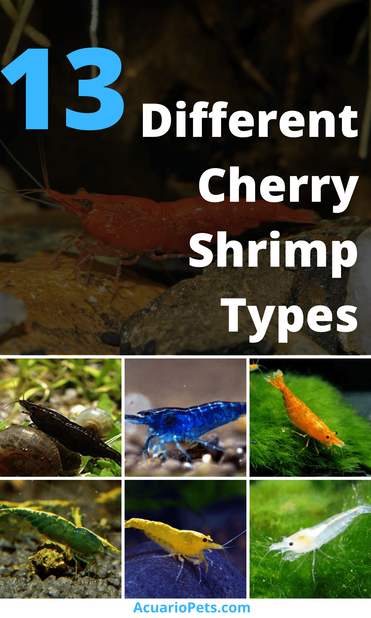 13 Different Cherry Shrimp Types Which One Is Ideal For You In 2020 Cherry Shrimp Pet Shrimp Shrimp Tank