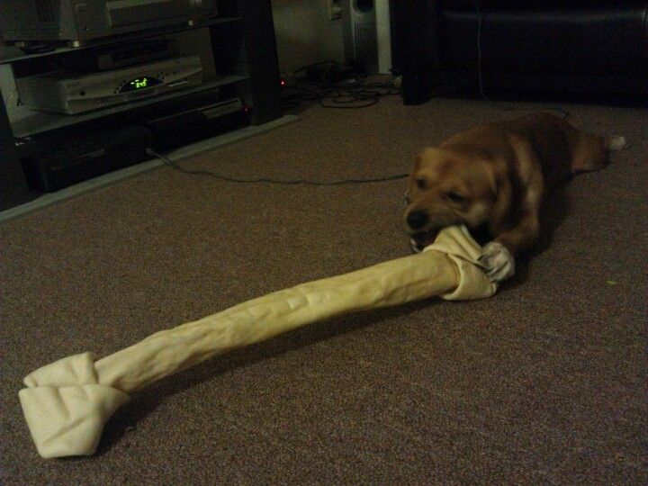 Small Dog Big Bone Small Dogs Dogs Animals