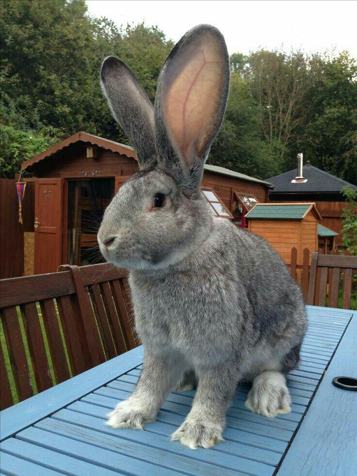 Kas 116 Giant Rabbit Flemish Giant Rabbit Giant Bunny
