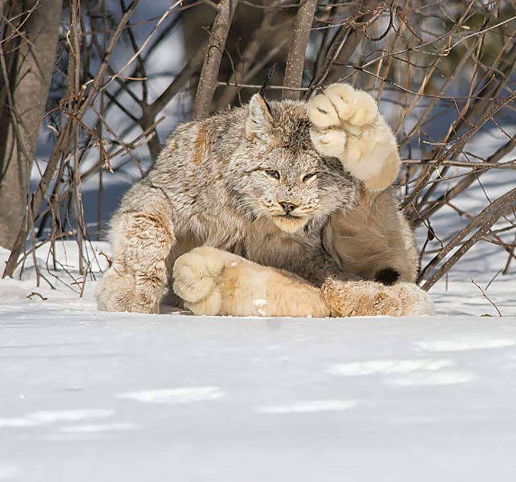 A Canada Lynx. Them sum big paws.