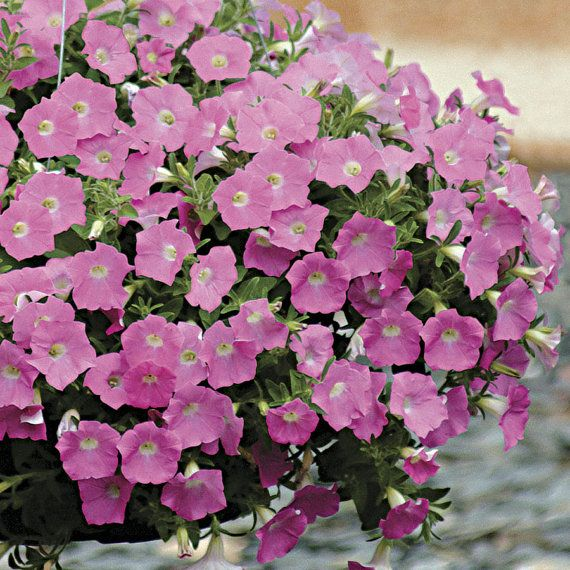 Pink Wave Petunia Seeds Spreading Trailing Habit High Quality
