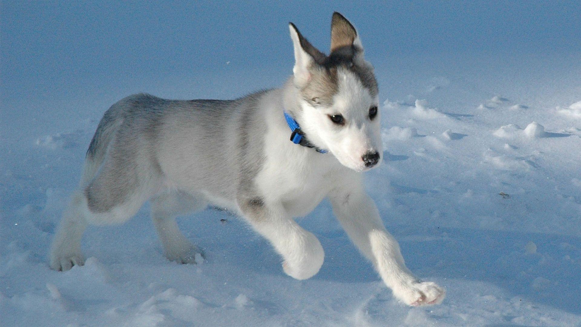 Running In The Snow Husky Puppy Siberian Husky Dog Siberian