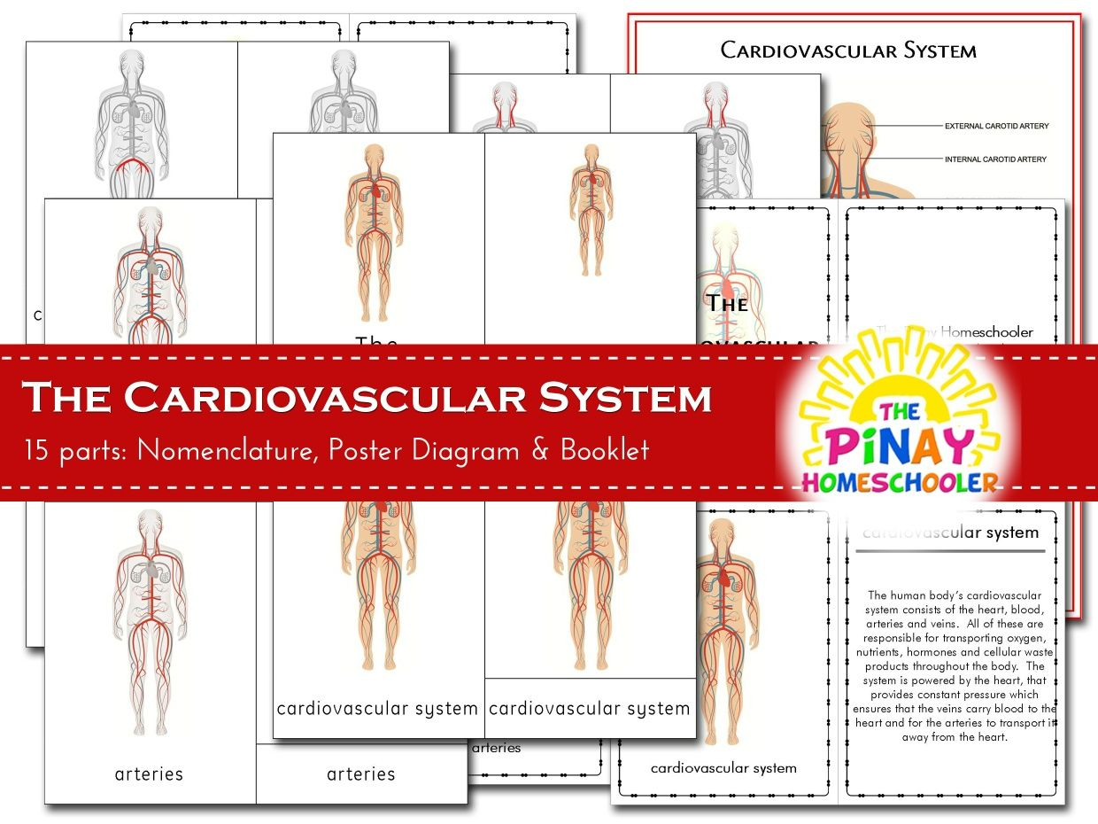 The Cardiovascular System In With Images