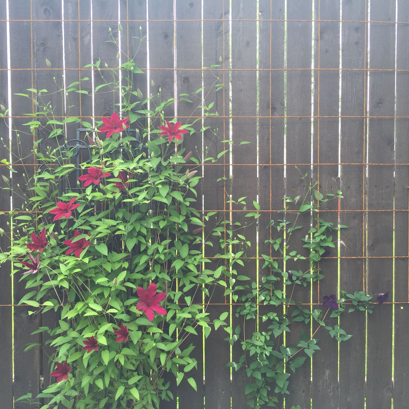 Concrete wire mesh trellis on a wooden fence is great