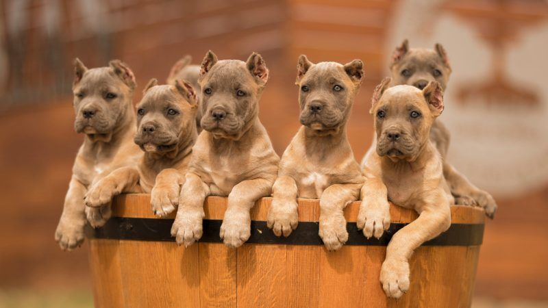 Buy Dog Cane Corso And Puppies For Sale In Melbourne Shetland Sheepdog Breeders A In 2020 Pembroke Welsh Corgi Puppies Welsh Corgi Puppies Australian Shepherd Puppies