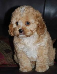 Katahnie Pups Cavoodle Puppies Ozdoggy Dog Breed Info Dog Care