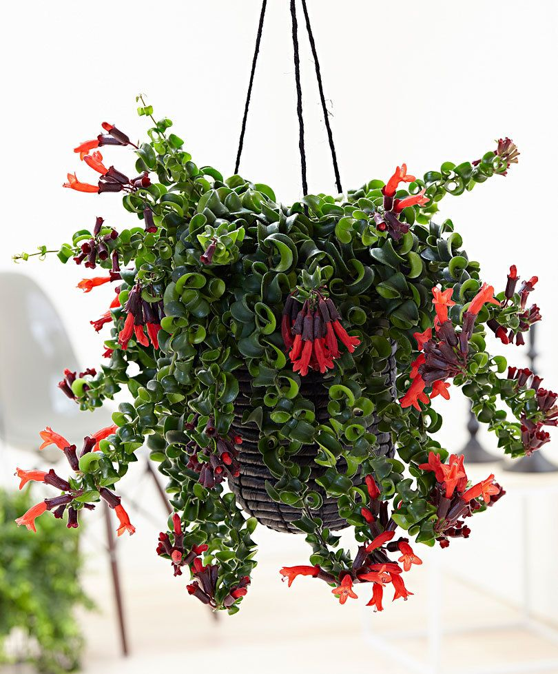 Lipstick Plant Blooming Lipstick Plant Is One Of The Best Plant
