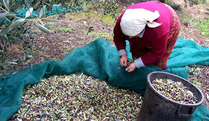 La raccolta delle olive nel Salento | Vizionario