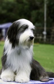 Polish Lowland Sheepdog Dog Breed Information Pictures