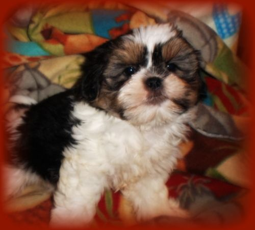 This Is A Tri Color Party Color In Shorkie Puppies And In The