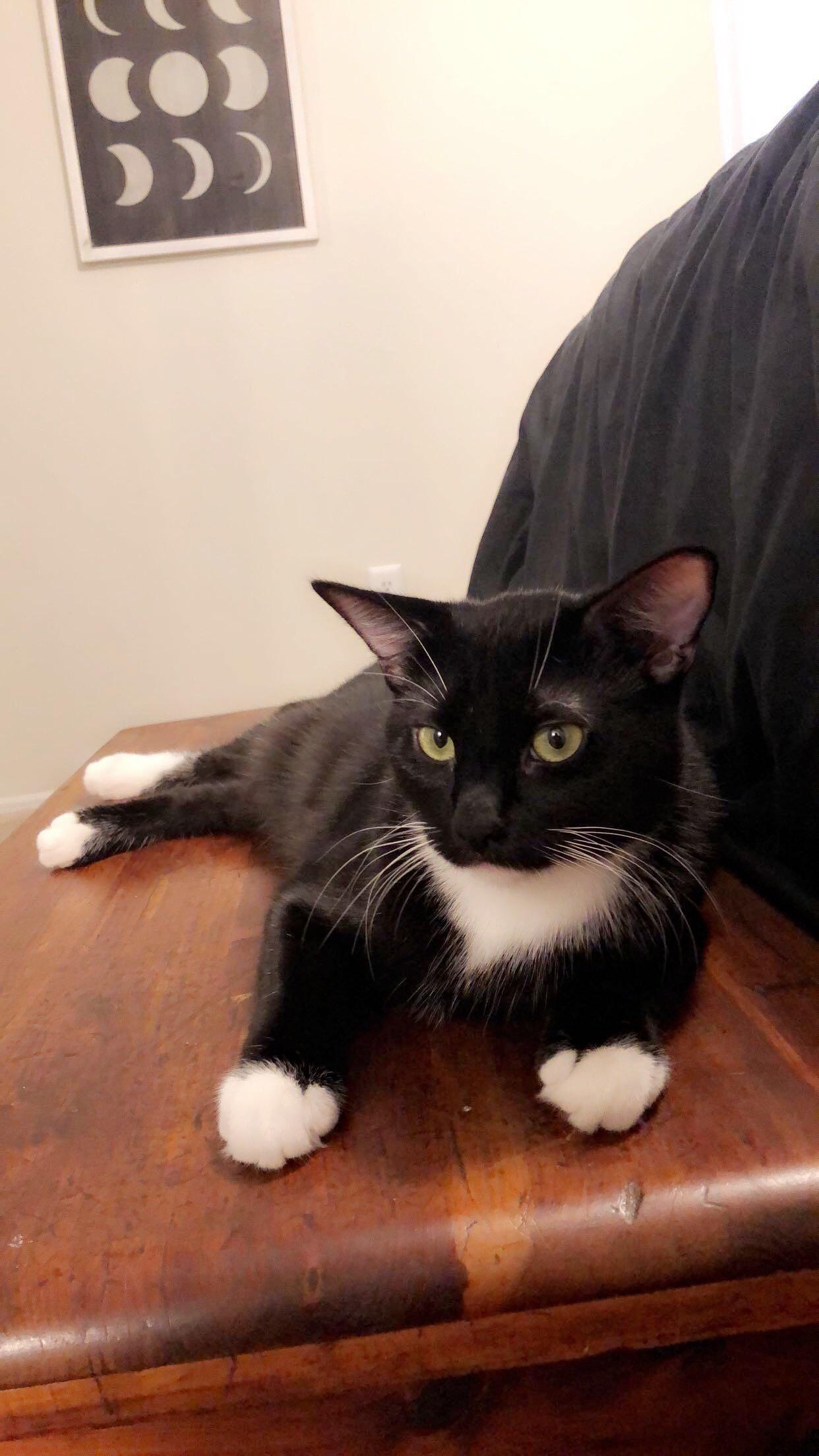 My Tuxedo Kitty Stevie In 2020 Cats And Kittens Baby Cats Kitty