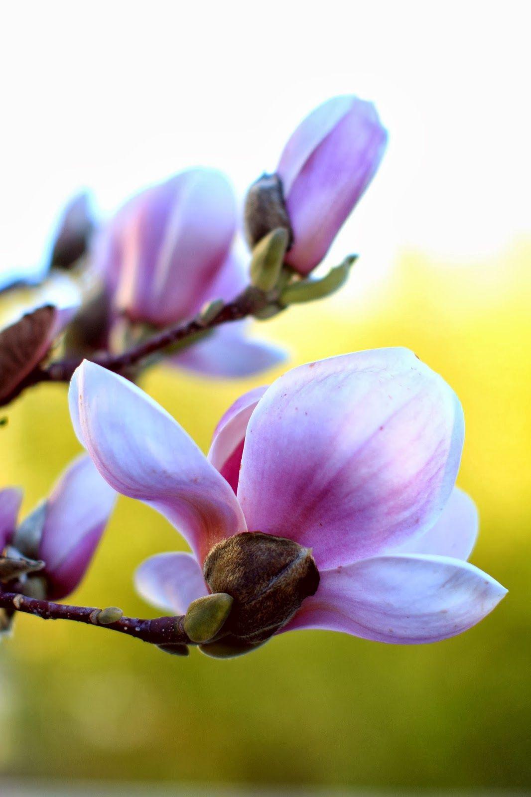 """Magnolia Soulengiana """"San José"""""""