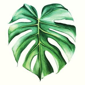 Who Doesn T Like Green When It Comes In Heart Shaped Leaves Monstera Ilustra 231 227 O De Plantas