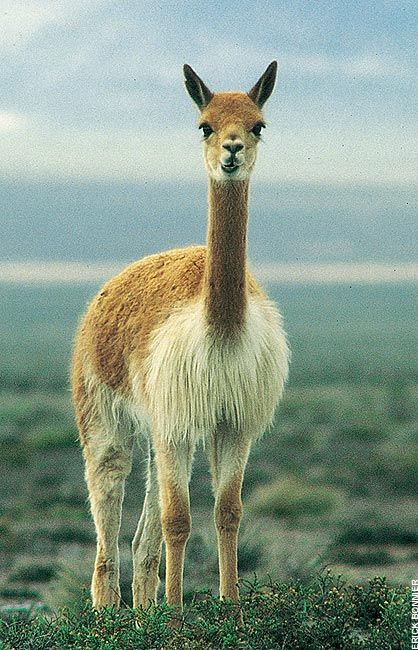 Vicuna Animals American Animals National Animal