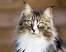 Mainecooncats Google Search Cute Cats And Kittens Norwegian Forest Cat Dog Adoption