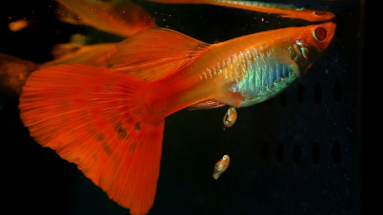 When A Guppy Fish Having Babies | CREATIVE INDOOR, OUTDOOR FISHTANKS ...