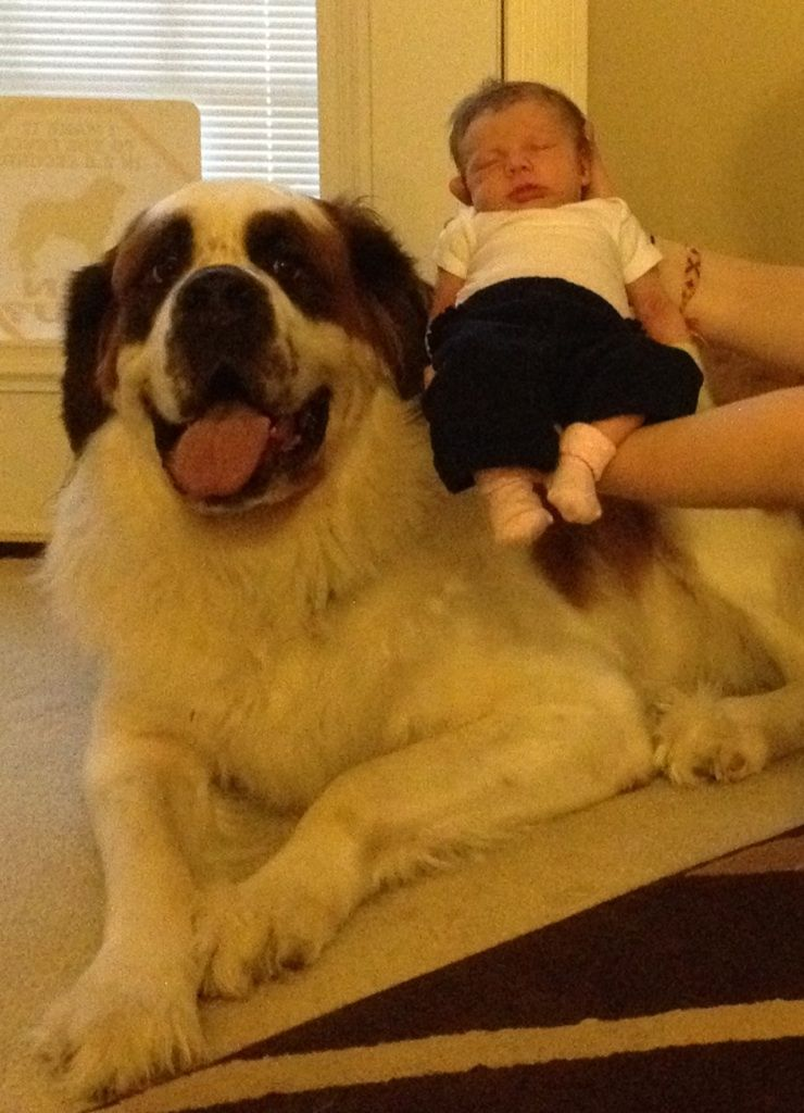 Brooklyn at 6 weeks next to Steeler who weights 200 lbs!!