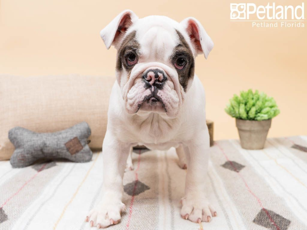 Available Puppies English Bulldog Puppies Bulldog Puppies Puppies